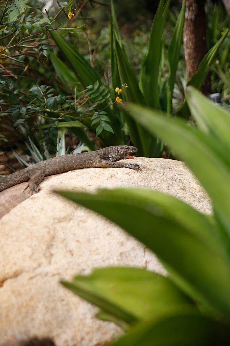 Wild-Coast-Lizard